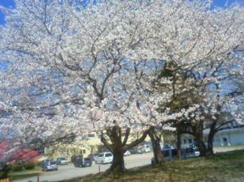 2011_0413sakura0003