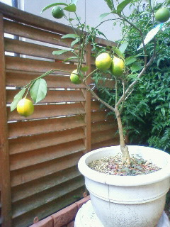檸檬の木が色づき始めました