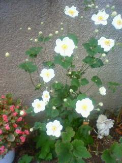 今日の秋明菊