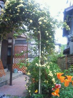 モッコウバラが咲き出しました。